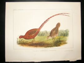 Japan Perry Expedition 1856 Antique Hand Col Bird Print. Copper Pheasant 2